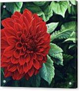 Dahlia Dawn Acrylic Print