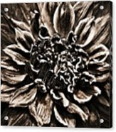 Dahlia De Pierre Acrylic Print