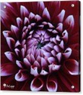 Dahlia Deep Maroon And While V1 Acrylic Print