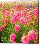 Dahlia Farm Acrylic Print