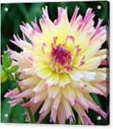 Dahlia Floral Pink Yellow Flower Garden Baslee Troutman Acrylic Print