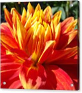 Dahlia Florals Orange Dahlia Flower Art Prints Canvas Acrylic Print