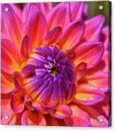 Dahlia Flower 017 Acrylic Print