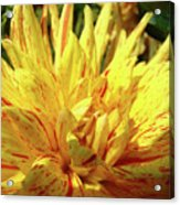 Dahlia Flower Art Collection Giclee Prints Baslee Troutman Acrylic Print