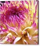 Dahlia Flower Art Sunlit Floral Prints Baslee Troutman Acrylic Print