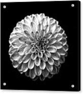 Dahlia  Flower Black And White Square Acrylic Print