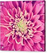 Dahlia Flower Petals Pattern Close-up Acrylic Print