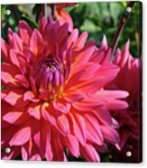 Dahlia Flowers Garden Art Prints Baslee Troutman Acrylic Print