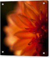 Dahlia Fueur Acrylic Print