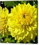 Dahlia Garden 3 Acrylic Print