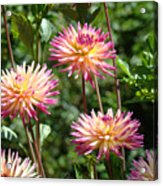 Dahlia Garden Floral Pink Yellow Botanical Landscape Baslee Troutman Acrylic Print