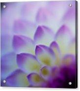 Dahlia Glow Acrylic Print
