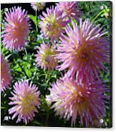 Dahlia Group Acrylic Print
