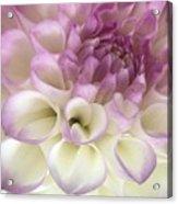 Dahlia Hint Acrylic Print