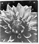 Dahlia In Black And White 2 Acrylic Print