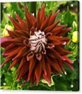 Dahlia In Bloom 18 Acrylic Print