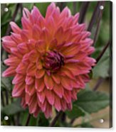 Dahlia In Bloom 19 Acrylic Print