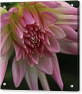 Dahlia In Pink Acrylic Print