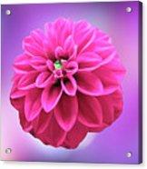 Dahlia On Color Acrylic Print