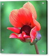 Dahlia On The Verge Acrylic Print