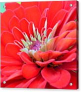 Dahlia Petals Acrylic Print