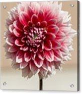 Dahlia- Pink And White Acrylic Print