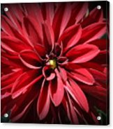 Dahlia Radiant In Red Acrylic Print