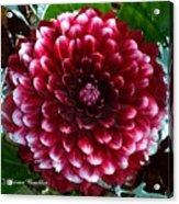 Dahlia Supreme Acrylic Print