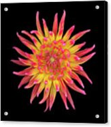 Dahlia Two Acrylic Print by Christopher Gruver