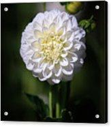 Dahlia White Flowers II Acrylic Print