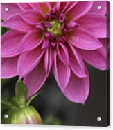 Dahlia With Dew In Pink Acrylic Print