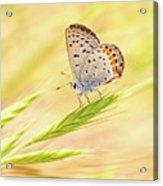 Dainty Butterfly  Acrylic Print