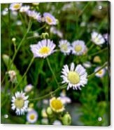 Dainty Flowers Acrylic Print