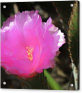 Dainty Pink Cactus Flower Acrylic Print