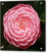 Dainty Pink Camellia Acrylic Print