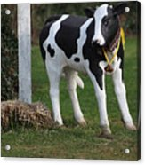 Dairy Cow Stature. Acrylic Print