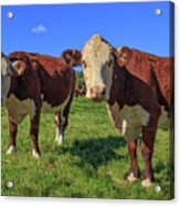 Cattle Andover New Hampshire Acrylic Print