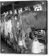 Dairy Farm, C1920 Acrylic Print