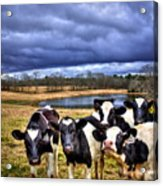 Dairy Heifer Groupies Future Chick-fil-a Starrs Acrylic Print