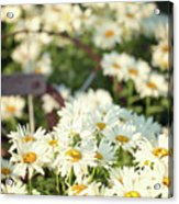 Daisies And A Hand Plow Acrylic Print