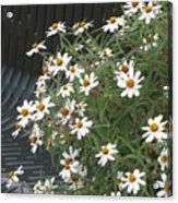 Daisies By The Bench Acrylic Print
