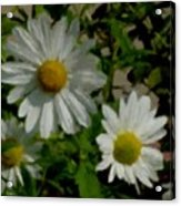 Daisies By The Number Acrylic Print
