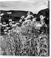 Daisies By The Roadside At Loch Linnhe B W Acrylic Print