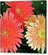 Daisies Close Up Acrylic Print