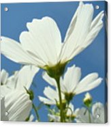 Daisies Floral Art Prints Canvas Daisy Flowers Blue Skies Acrylic Print