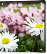 Daisies Flowers Art Prints Spring Flowers Artwork Garden Nature Art Acrylic Print