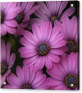 Daisies In Dakota Acrylic Print