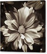 Daisies In Sepia Acrylic Print