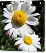 Daisies In The Sunshine Acrylic Print