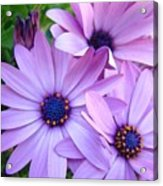 Daisies Lavender Purple Daisy Flowers Baslee Troutman Acrylic Print